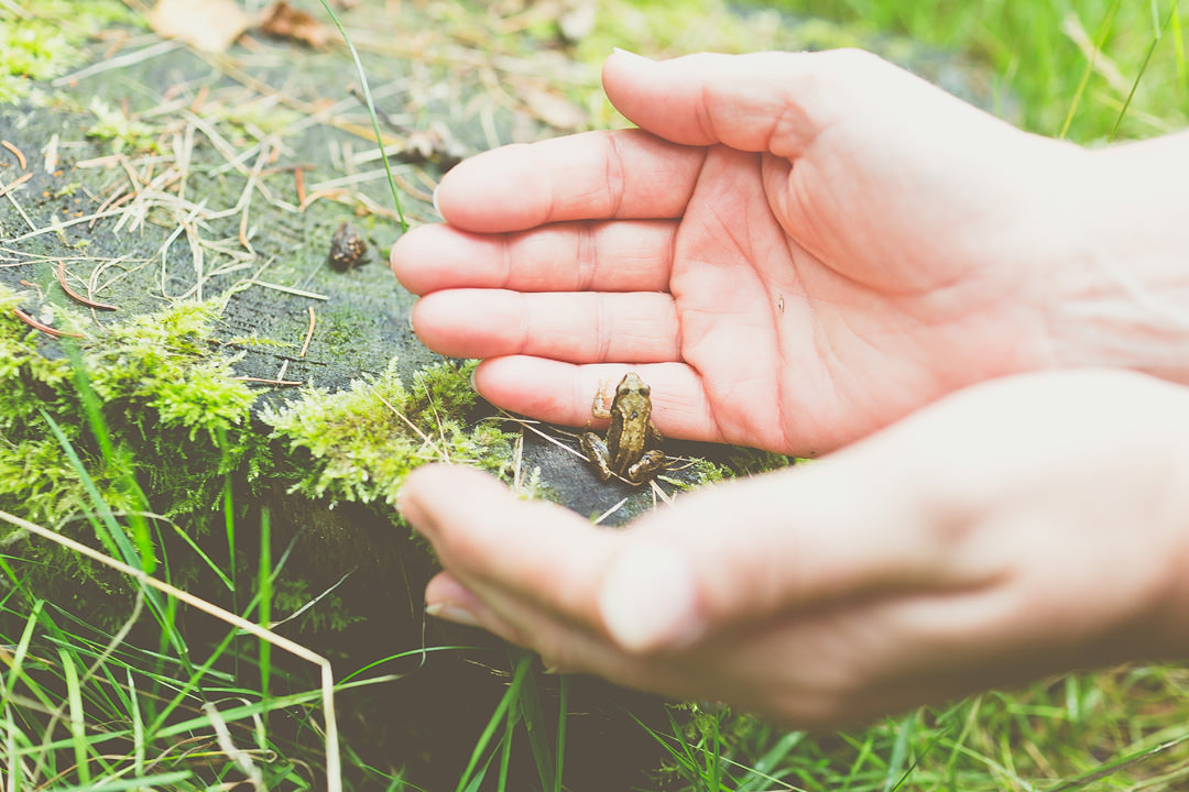 A pair of hands picking up a small frog from a log